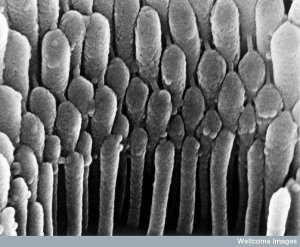 4. Hair cell in the ear. Image: Welcome Photo Library, Welcome Images. Here's what it looks like to see a close-up of human hair cell stereocilia inside the ear. These detect mechanical movement in response to sound vibrations.