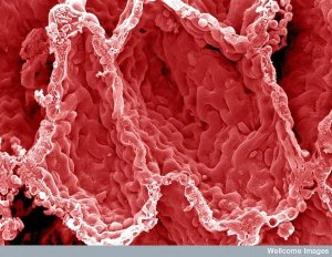 9. Alveoli in the lung. Image: David Gregory & Debbie Marshall, Welcome Images. This is what a color-enhanced image of the inner surface of your lung looks like. The hollow cavities are alveoli; this is where gas exchange occurs with the blood.