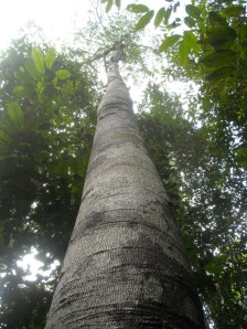 This tall tree is Shorea Albida also known by its trade name as red meranti, usually made for furnitures. The Badas peat swamp next to Kuala Balai has its canopy composing entirely of such trees.