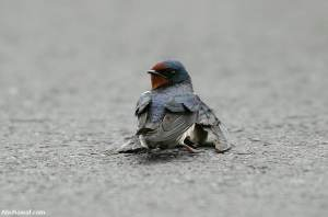 A female swallow was hit by a car as she swooped so low across the road. She couldnt move.