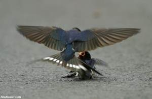 A male swallow, must be her companion, brings her food and attends to her with love and compassion.